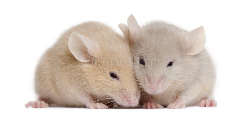мыши 2 детеныша стоковые фото