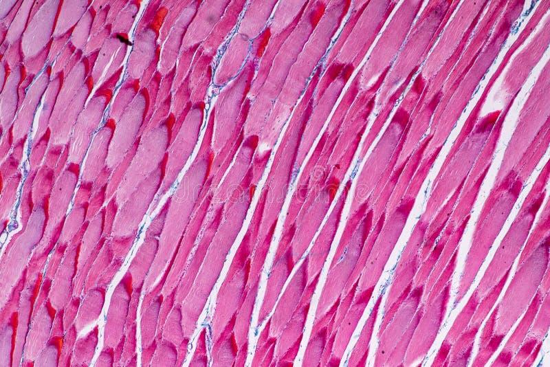 Мышца гистологического образца Striated скелетная млекопитающейся ткани под микроскопом стоковые фотографии rf