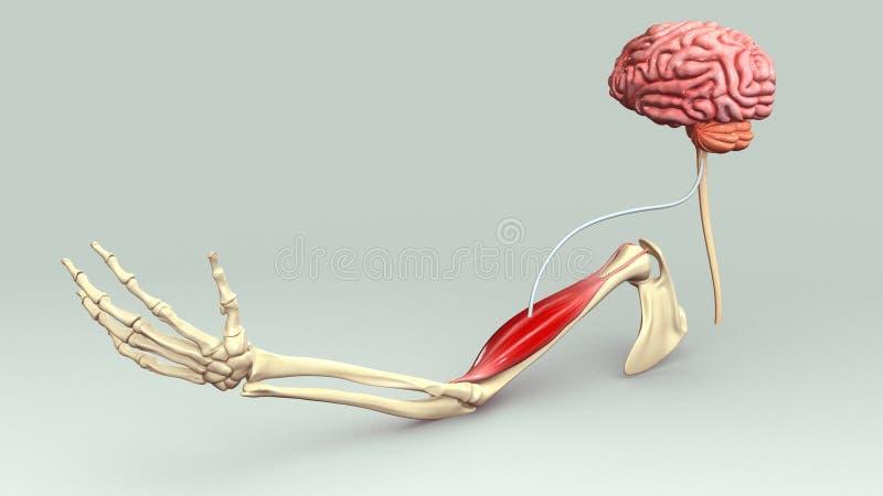 Мышца руки иллюстрация вектора