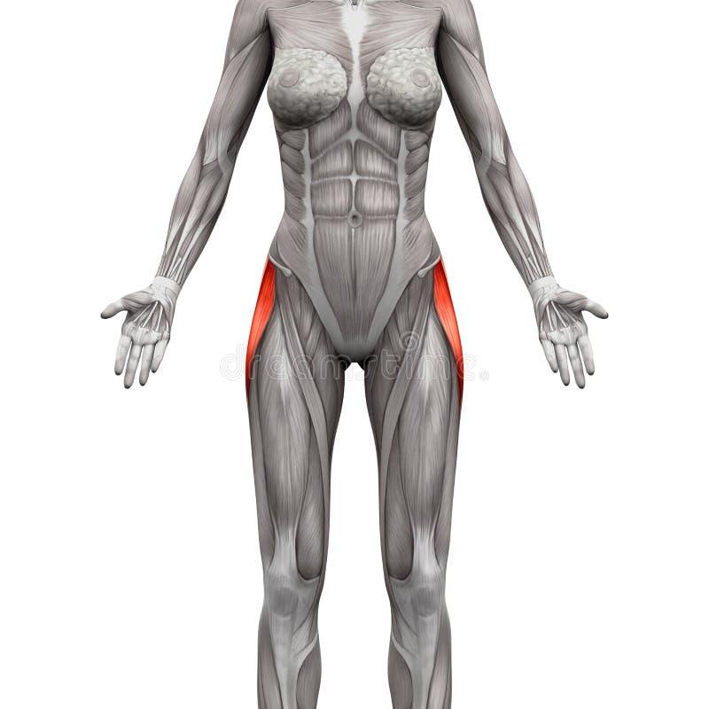 Мышца Latae фасций тензора - мышцы анатомии изолированные на белизне бесплатная иллюстрация