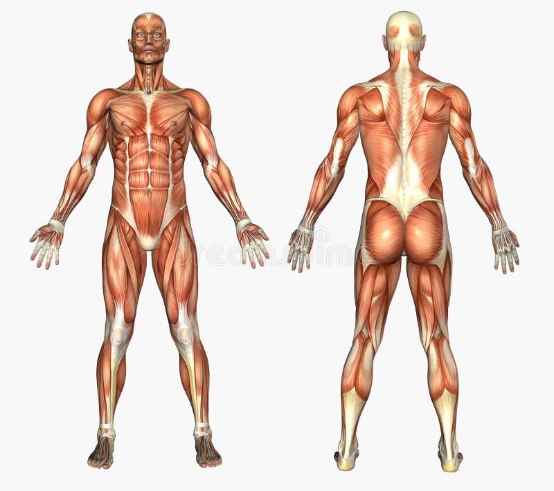 мышцы анатомирования людские мыжские иллюстрация вектора