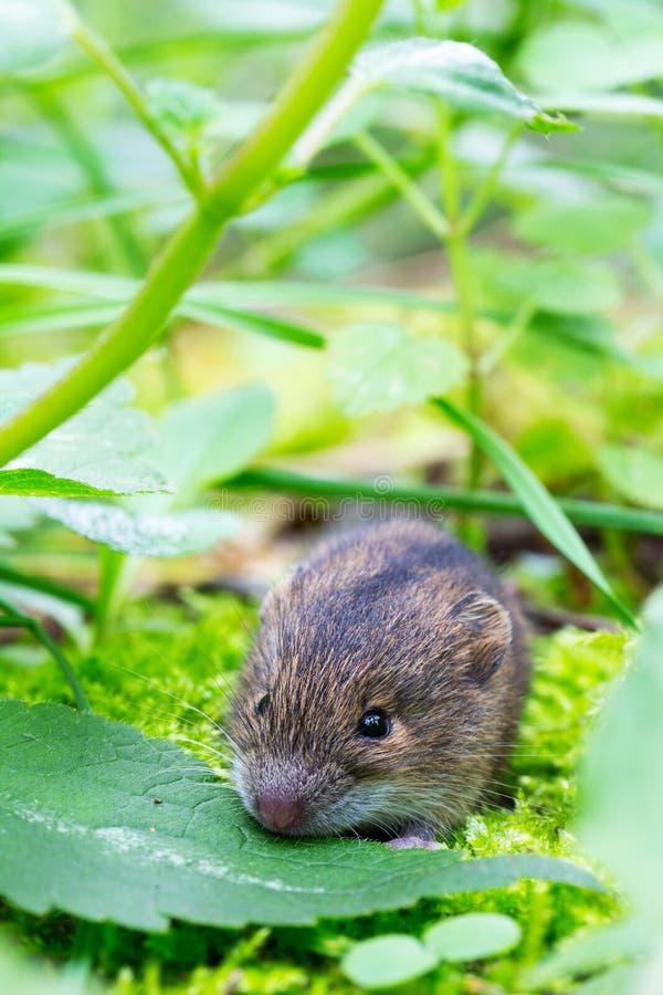 Мышь березы леса стоковые фотографии rf