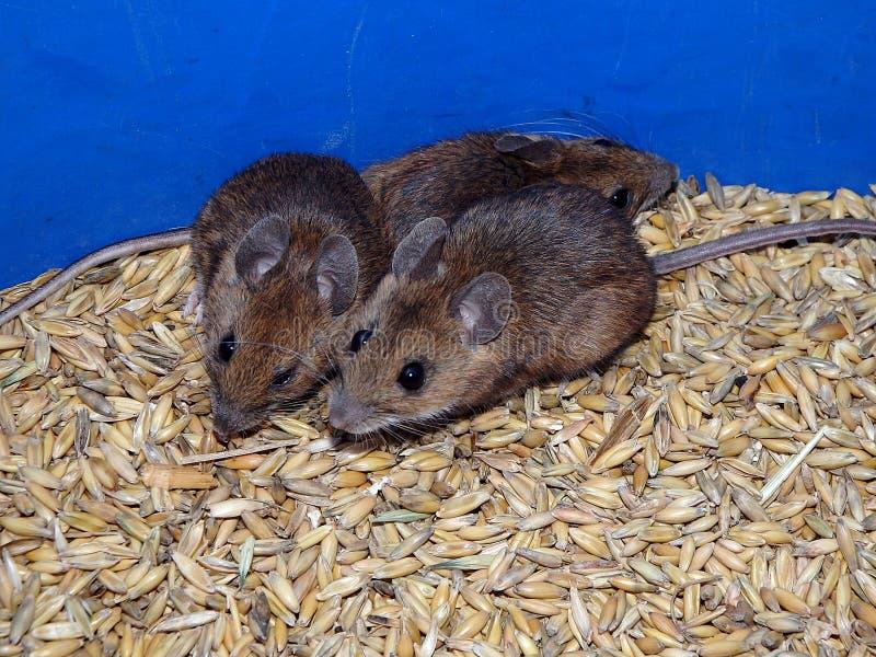 Мышь и овсы стоковое изображение