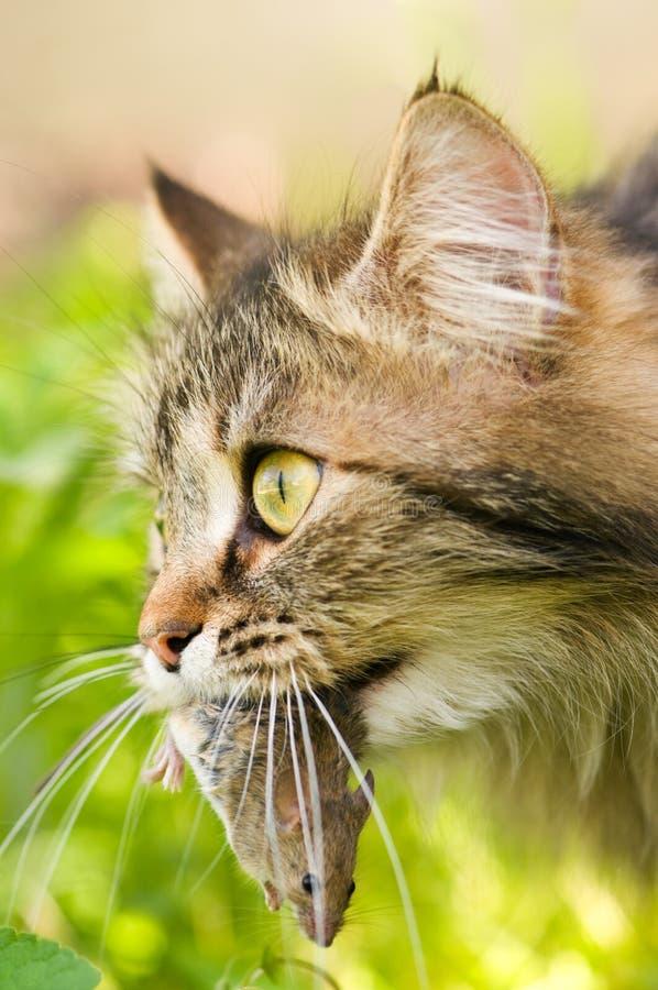 мышь кота стоковое изображение