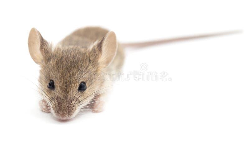 Мышь на белой предпосылке стоковые фотографии rf