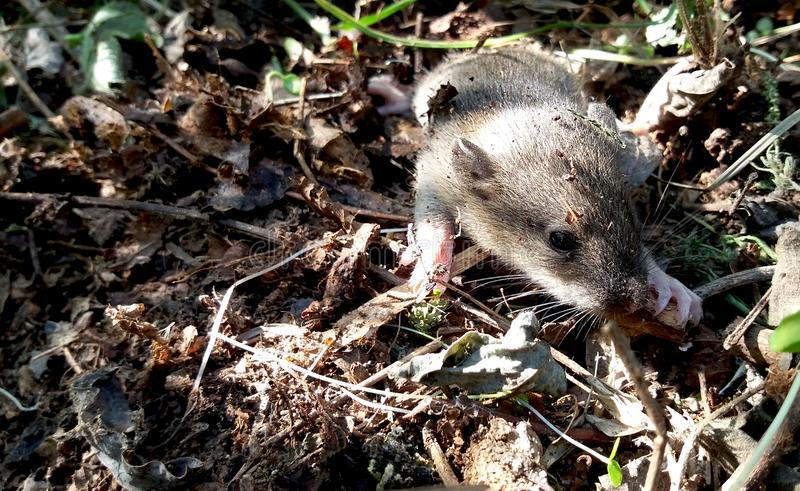 мышь одичалая стоковая фотография