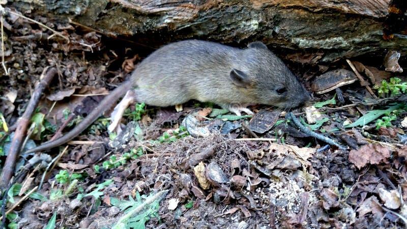 мышь одичалая стоковая фотография rf