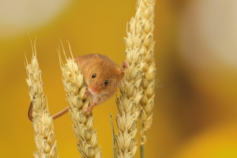 Мышь сбора стоковая фотография rf