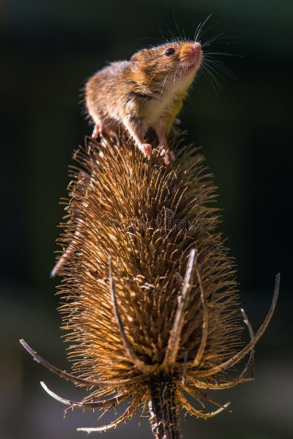 Мышь сбора стоковое изображение