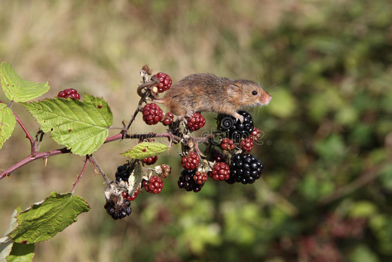 Мышь сбора, Minutus Micromys Стоковые Изображения RF