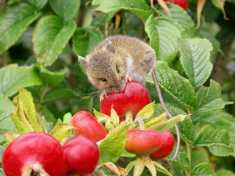 мышь хлебоуборки голодная стоковое фото rf
