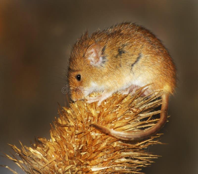 мышь хлебоуборки стоковая фотография rf