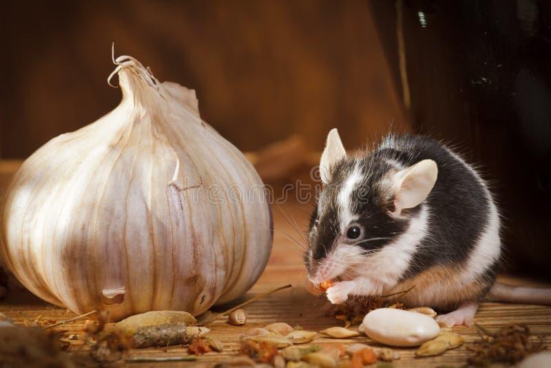 мышь чеснока подвала малая стоковые фото