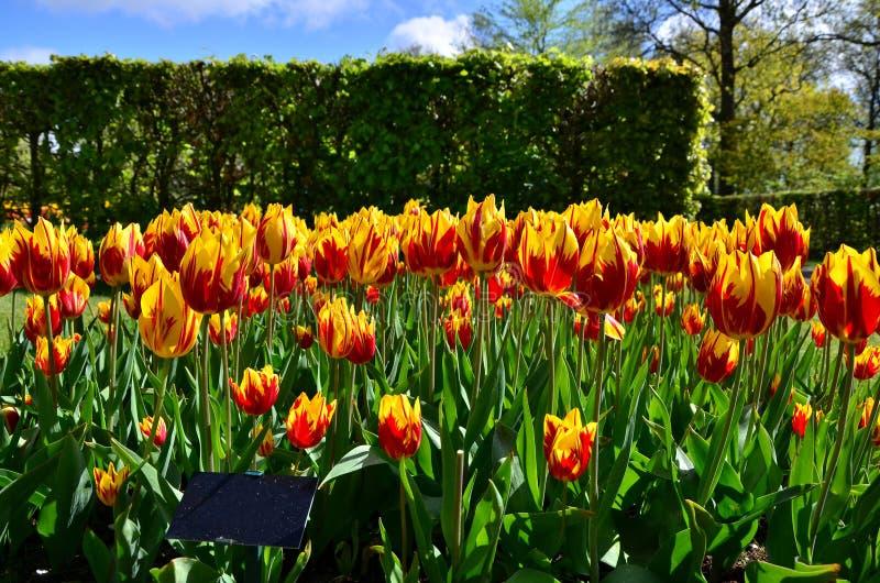 Мышь mickey Tulipa цветет в голландском саде Keukenhof весны стоковое фото