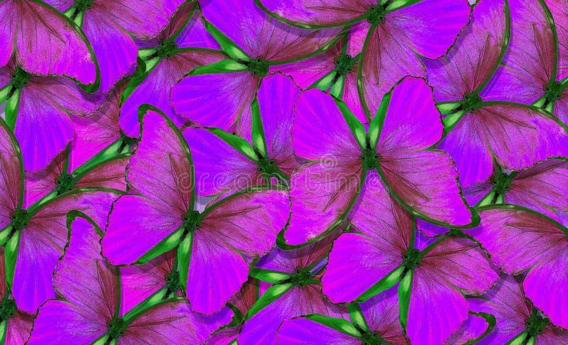 Мягкая пурпурная естественная текстурная предпосылка Крылья бабочки Morpho Полет предпосылки ярких бабочек абстрактной стоковое фото rf
