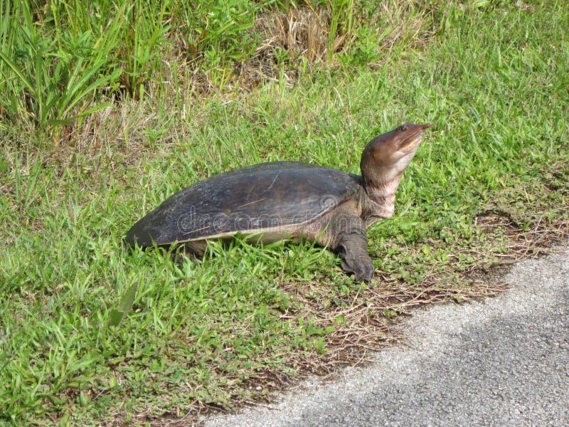 Мягкая черепаха раковины в болотистых низменностях стоковые изображения