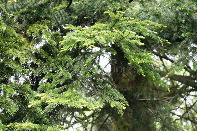 Мягкие молодые иглы появляются на спрус весной стоковые изображения
