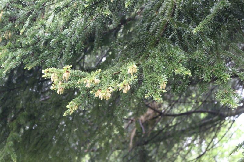Мягкие молодые иглы появляются на спрус весной стоковые фотографии rf