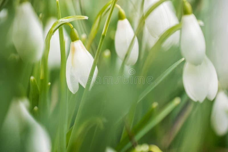 Мягкие snowdrops весны фокуса закрывают вверх в шотландском полесье стоковая фотография rf