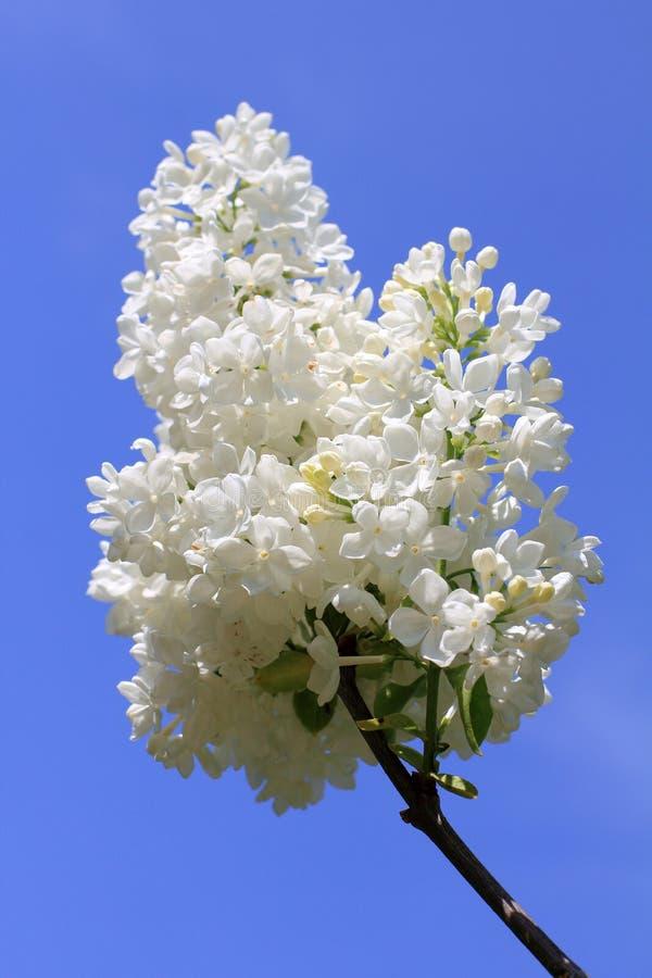 Мягкий белый букет весны сиреней стоковое фото