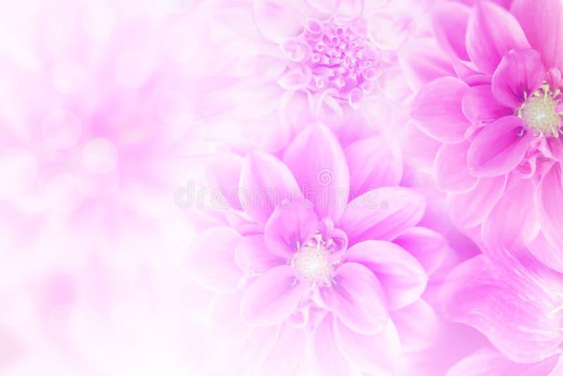 Мягкий пурпурный цветок георгина с предпосылкой романс bokeh стоковые изображения rf