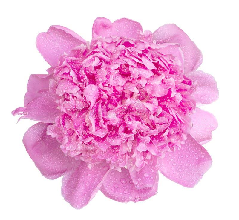 Мягкий розовый влажный изолированный макрос цветка пиона стоковое изображение rf