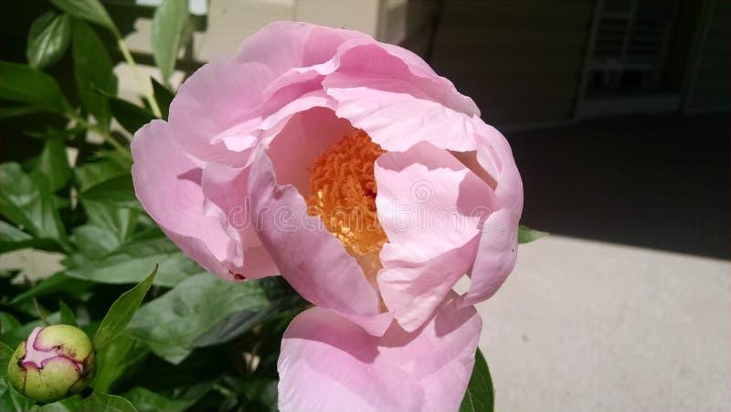 Мягкий розовый цветок раскрывая для того чтобы греть на солнце стоковое изображение rf
