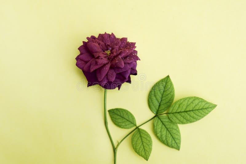 Мягкий фокус, желтая предпосылка и красивые красные розы стоковые фото