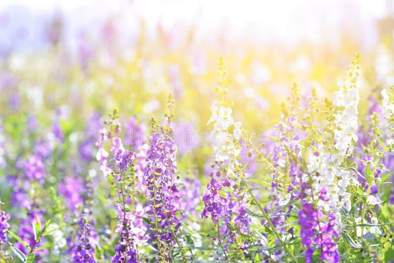 Мягкий фокус на цветке лаванды, красивом цветке лаванды Заход солнца над фиолетовым полем лаванды стоковое изображение