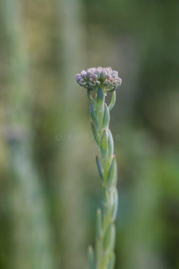 Мягкий фокус на цветорасположении тучного завода, буррито sedum стоковая фотография rf