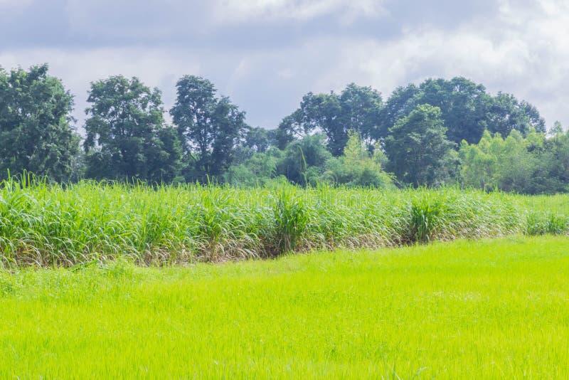 Мягкий фокус поле природы, зеленые неочищенные рисы field, поле завода сахарного тростника, красивое небо и облако в Таиланде стоковые фотографии rf