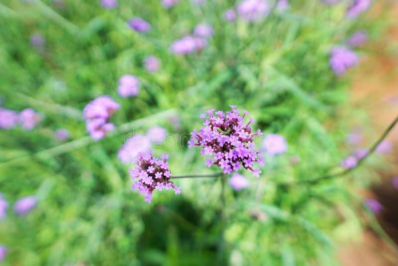 Мягкий фокус пурпурных цветков в саде, цветке вербены на запачканной ветви и лист как предпосылка стоковая фотография