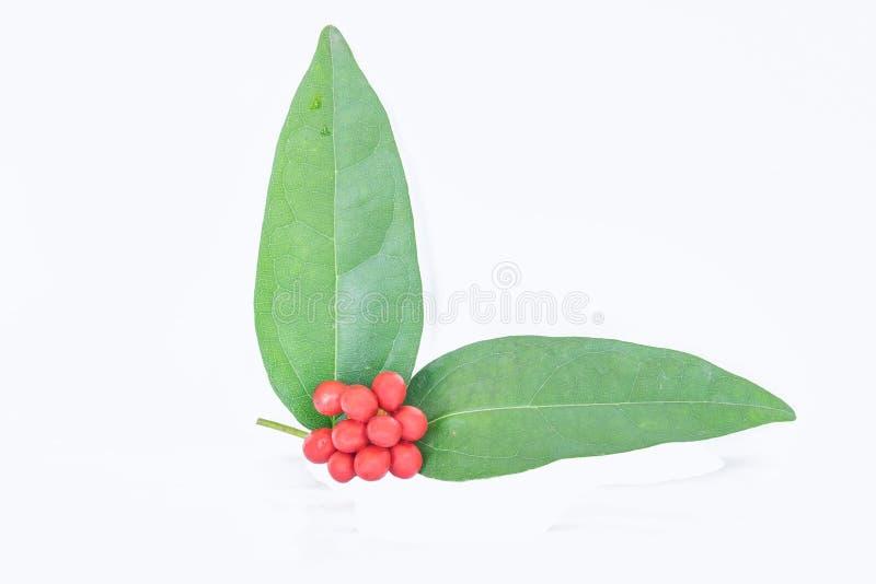 Мягкий фокус triandra, Cocculus, triandrus Colebr, Menispermum, Menispermaceae, лозы, лист, и плодоовощ Tiliacora с белизной стоковые изображения rf