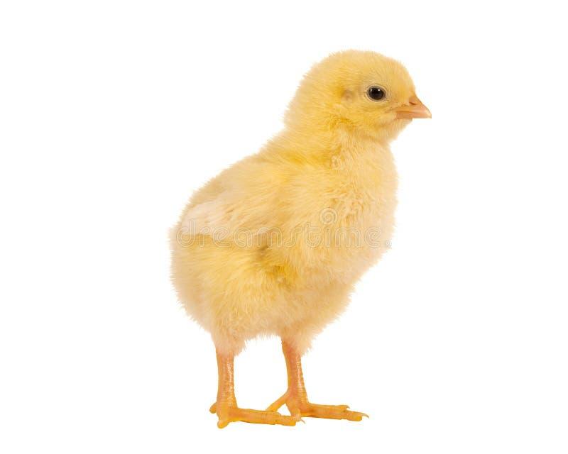 Мягкий цыпленок пасхи стоковое изображение