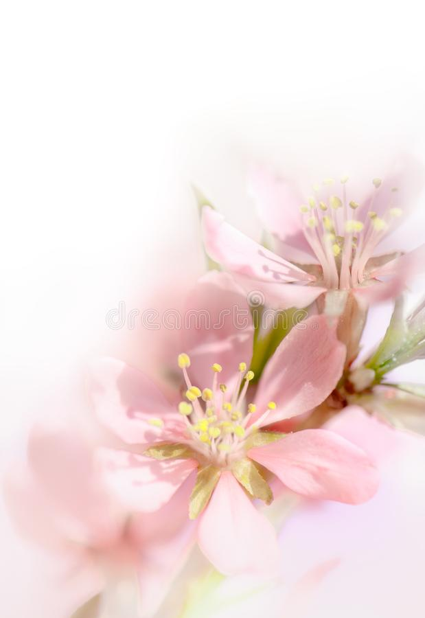 Мягкое цветение миндалины пинка фокуса стоковые фото