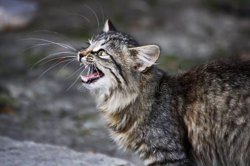 мяукая кот стоковые фото
