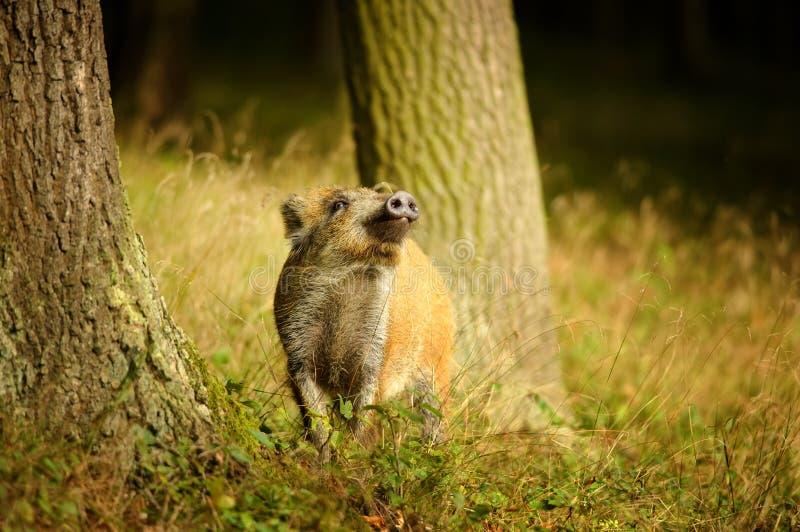 Младенец дикого кабана обнюхивая между стволами дерева стоковое изображение rf