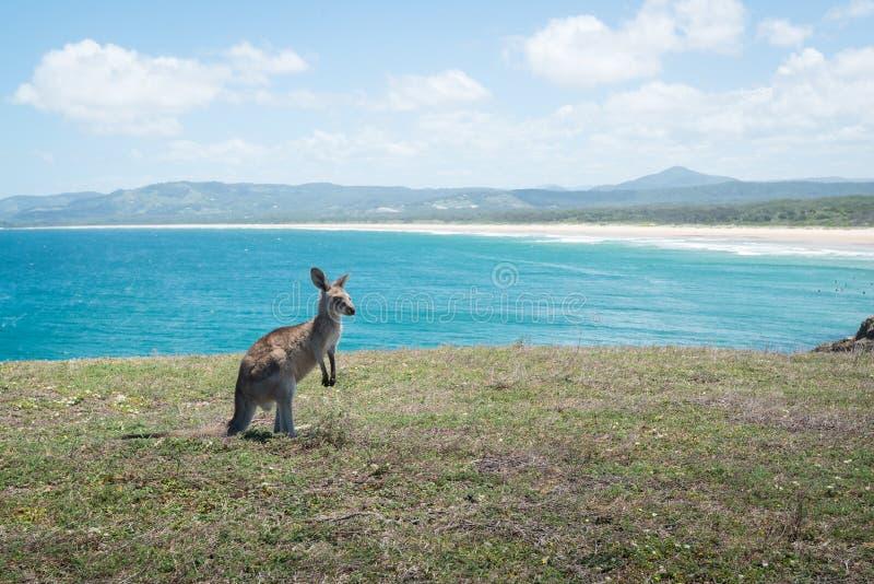 Младенец кенгуру на пляже стоковые фотографии rf