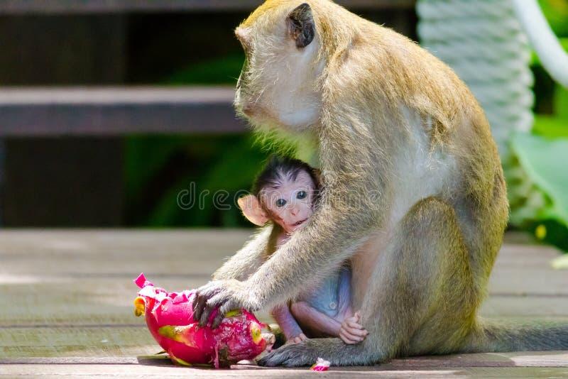 Младенец обезьяны подавая стоковое изображение rf