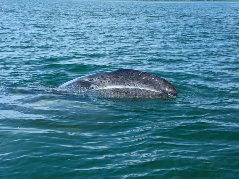 Младенец серого кита стоковое фото