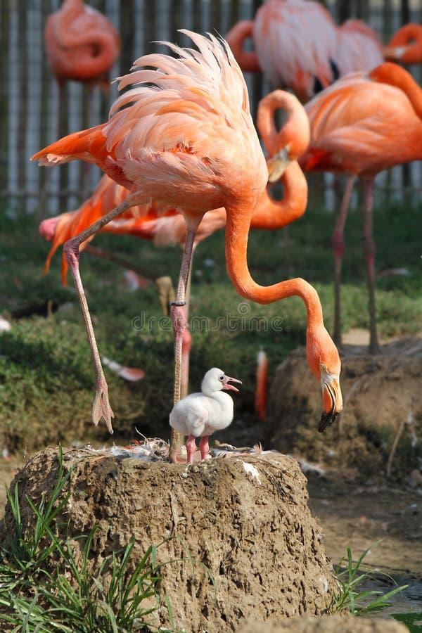 Младенец фламинго стоковое изображение rf