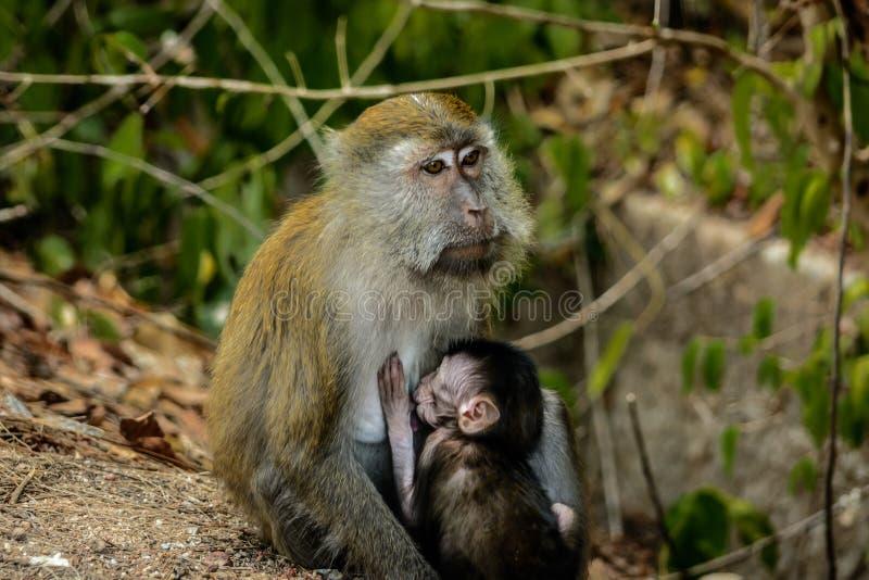 Младенец Brestfeeding обезьяны стоковое фото