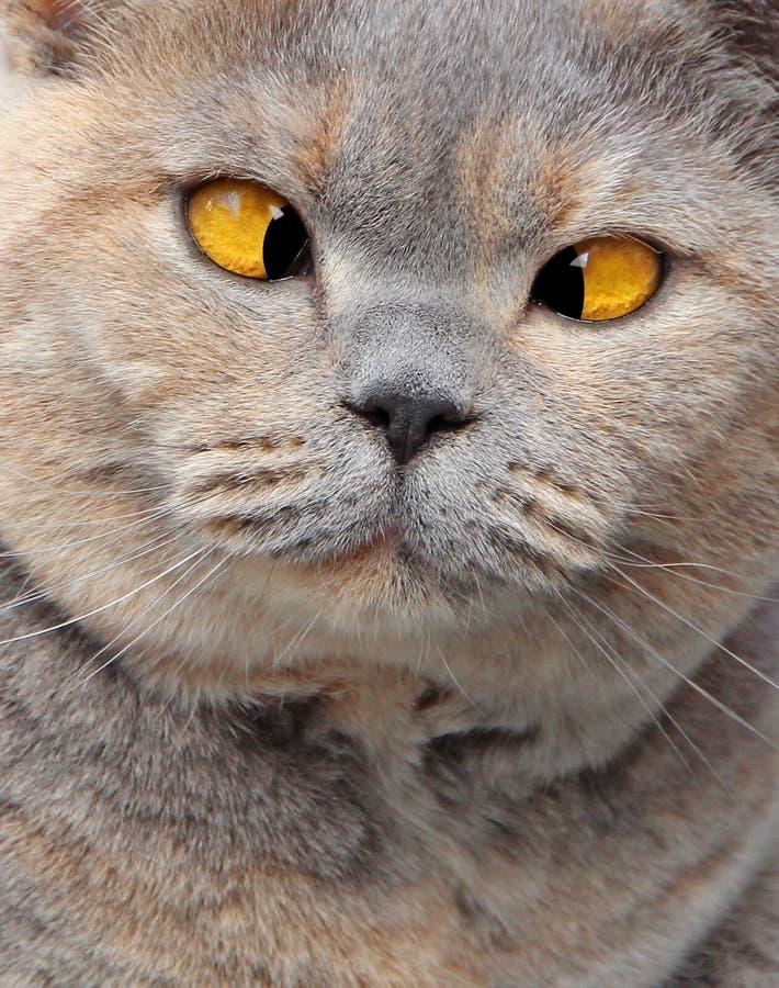 Наблюданное крестом выражение кота родословной на стороне стоковое изображение