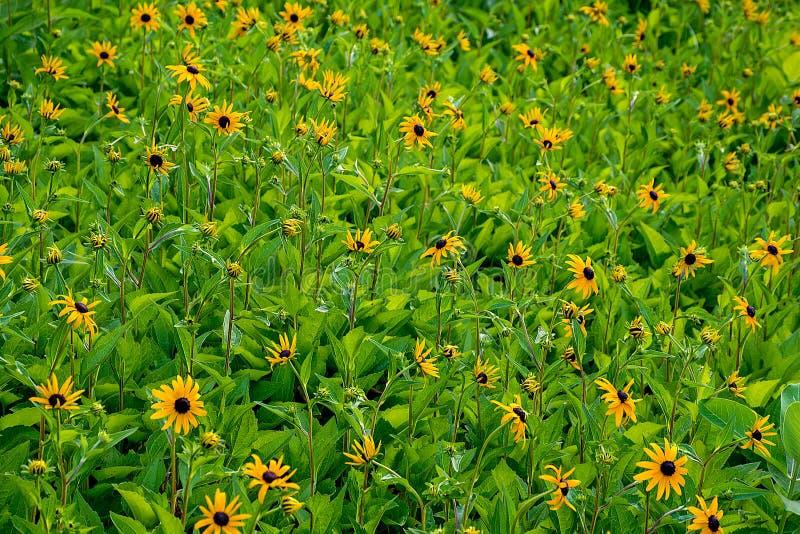 Наблюданное чернотой поле цветка Сьюзана стоковые фотографии rf