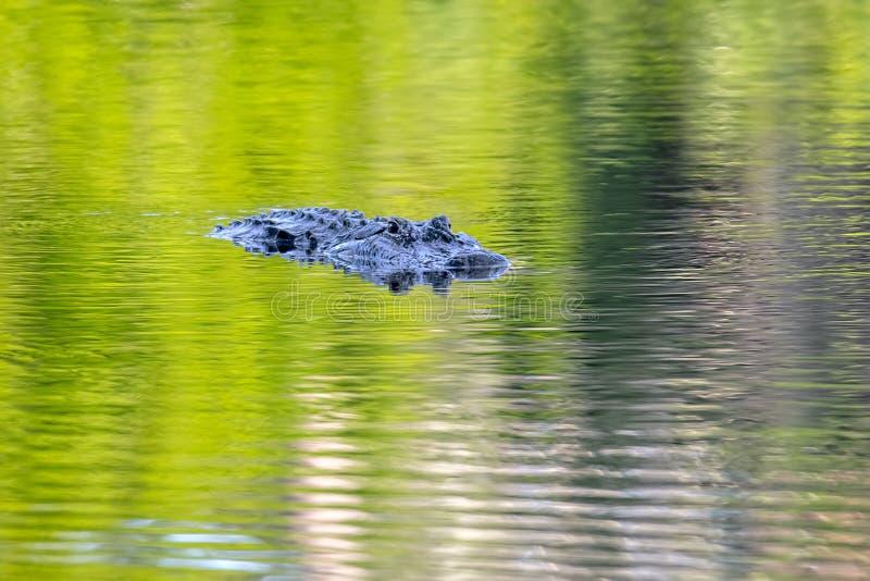 Наблюдательный американский аллигатор на зеленой воде стоковая фотография