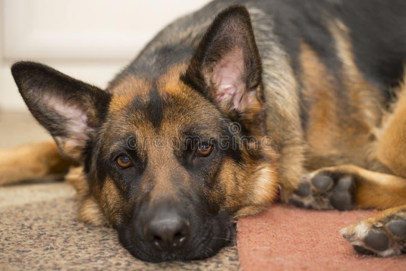 наблюдатель чабана преданного портрета друга собаки надежный стоковые фотографии rf