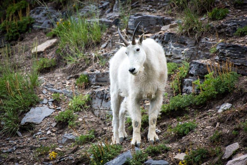 Наблюдать козы горы стоковые изображения