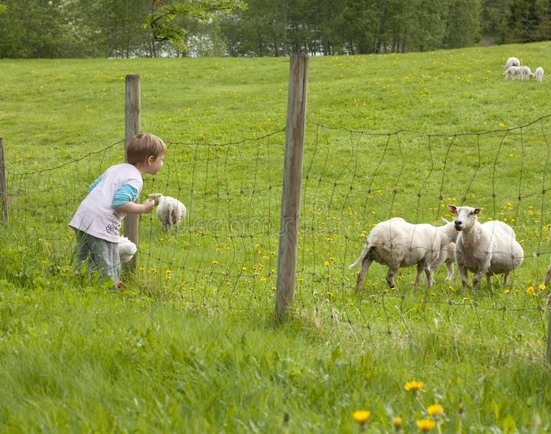 наблюдать овец ребенка стоковая фотография rf