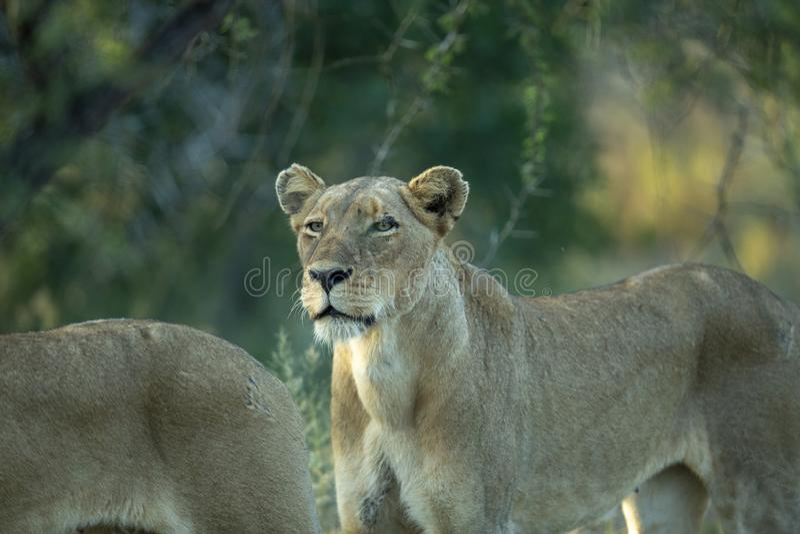 Наблюдая лев стоковые фотографии rf