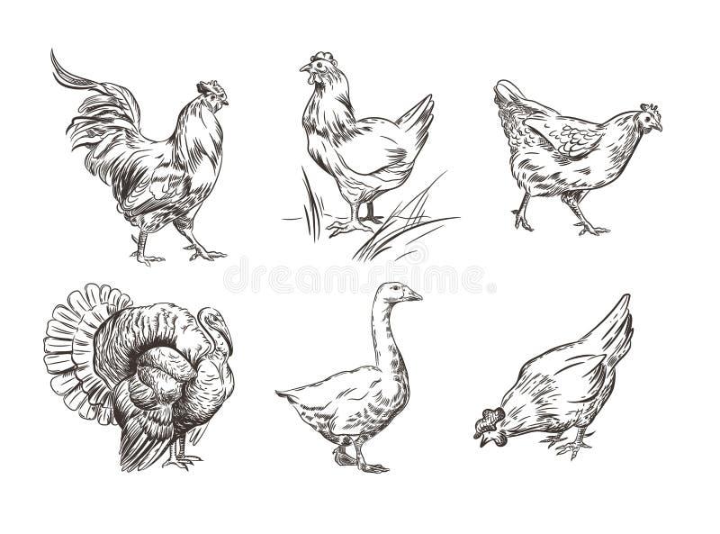 Набор изображений отечественных птиц Петух, индюк, курицы и гусыня Графики эскиза иллюстрация вектора